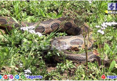 மார்லிமந்து குடியிருப்பு பகுதியில் கட்டு வீரியன் பாம்பு